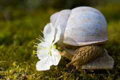 Snail and a flower Royalty Free Stock Photo