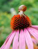 Snail on a flower Royalty Free Stock Photos