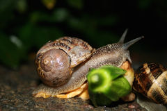 Snail on the flower Stock Photography