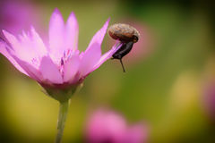 Snail on the flower Royalty Free Stock Photography