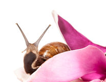 Snail and flower Royalty Free Stock Image