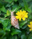 Snail and flower. Snail is moving on green moist leaves in early morning  having yellow flowers beside, selected focus Royalty Free Stock Image