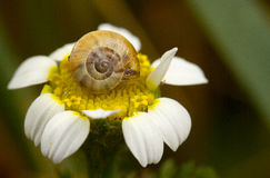 Snail on flower Stock Photography