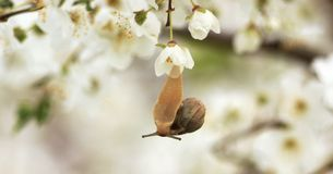 Snail on the flowering tree Royalty Free Stock Photography