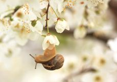 Snail on the flowering tree Stock Photography