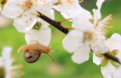 Snail on the flowering tree Royalty Free Stock Images
