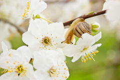 Snail on the flowering tree Stock Photos