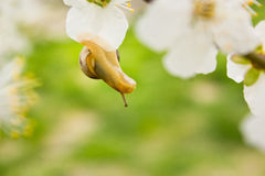 Snail on the flowering tree Royalty Free Stock Photo