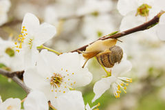 Snail on the flowering tree Royalty Free Stock Photos