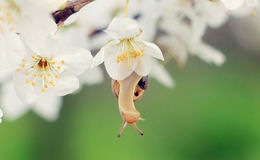 Snail on the flowering tree Stock Photo