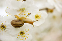 Snail on the flowering tree Stock Images