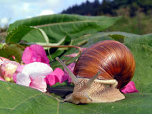 Snail and flowers Royalty Free Stock Image