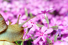 Snail and flowers. Royalty Free Stock Photography