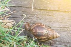 Snail on footpath in the garden royalty free stock image