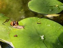 Snail forcing waterlily leaf Stock Photos