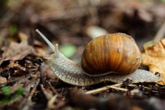 Snail in forest, close-up view. stock images