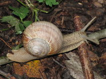 Snail. Forest snail crawling on autumn leaves royalty free stock images