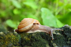 Snail in forest Royalty Free Stock Photo