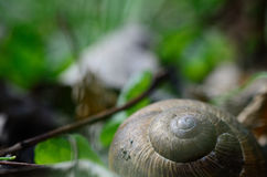 Snail in the forest Royalty Free Stock Photos