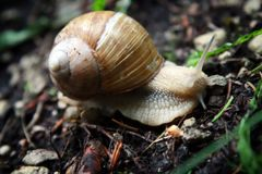 Snail on forest ground Stock Photography
