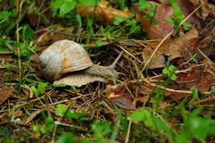 Snail on forest ground. Burgundy snail, Roman snail, edible snail, escargot, hermaphrodite, speeding, acceleration stock image