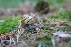 Snail on forest litter Royalty Free Stock Images