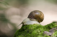 Snail on forest moss Stock Photo