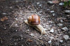 Snail in the forest moving on the ground Royalty Free Stock Photo