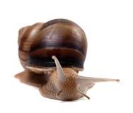 Snail. Främre sikt. Royaltyfria Bilder