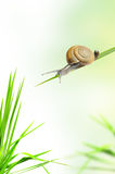 Snail on the fresh grass Royalty Free Stock Image