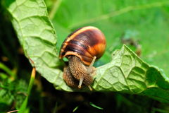 Snail on fresh leaf Royalty Free Stock Image