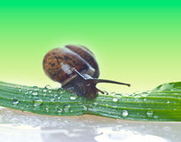 Snail on a fresh leaf Royalty Free Stock Photo