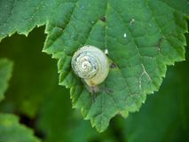 Snail fruticicola Royalty Free Stock Photography