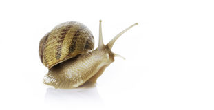 Snail. Funny snail isolated on white royalty free stock image