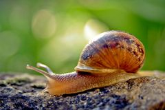 Snail in a garden Royalty Free Stock Photos