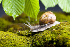 Snail at the garden Royalty Free Stock Image