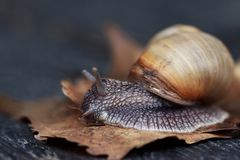Snail in the garden. Curious snail in the garden on brown leaf Stock Photography