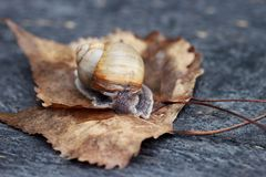 Snail in the garden. Curious snail in the garden on brown leaf Royalty Free Stock Image