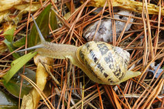 Snail a. Snail in a garden with dry grass Stock Photography