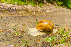 Snail in a garden. Edible snail (Helix pomatia) over a garden. Snails provide an easily harvested source of protein to many people around the world Stock Photo