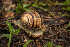 Snail in garden on green grass. It crawl through green grass Stock Photography