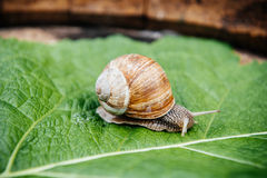 Snail in the garden on green leaf. Curious snail in the garden on green leaf Royalty Free Stock Image