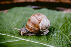 Snail in the garden on green leaf. Curious snail in the garden on green leaf Stock Photo