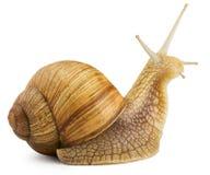 Snail. Garden snail isolated on white Stock Photos