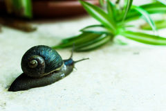 Snail. Garden snail with pretty shell on granite rock Stock Images