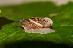 Snail in the garden without shell. Curious snail in the garden on green leaf Stock Images