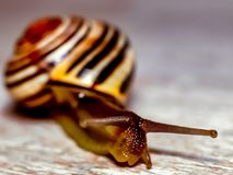 Snail. From garden terrestrial snail in Europe Stock Images