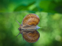 Snail in the garden to walk through the leaves Royalty Free Stock Photo