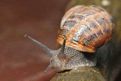 Snail on garden tools in the rain. Snail slides along trowel handle in the rain royalty free stock image