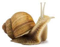 Snail. Garden snail  on white Royalty Free Stock Image